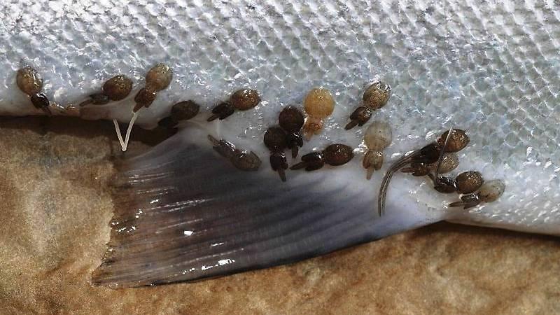 Uakseptable lusepåslag på villfisk får et eget varslingssystem
